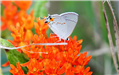 Butterfly Milkweed Attraction - Natalie Donges